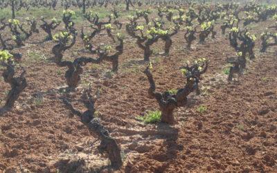 La brotación en los viñedos de Privilegio del Condado